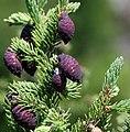 Picea mariana cones Ontario.jpg