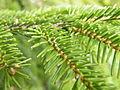 Picea orientalis 26.JPG