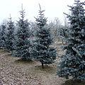 Picea pungens 'Koster' Lappen nursery.jpg