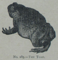 Picture Natural History - No 185 - The Toad.png