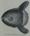 Picture Natural History - No 196 - The Short Sun-fish.png