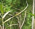 Pied Bush Chat. female. Saxicola caprata (48826746341).jpg