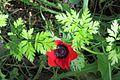 PikiWiki Israel 29280 Winter Blossom Ben-Shemen forest.JPG