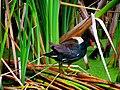 Pinckney Island National Wildlife Refuge (5958496504).jpg