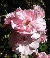 Pink flowers 03 Orcas.JPG