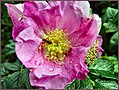 Pink rose with bee closeup.jpg