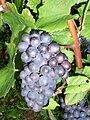 Pinot noir Grappe de raisin.jpg