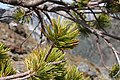 Pinus albicaulis 7874.JPG