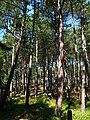 Pinus nigra Łeba.jpg