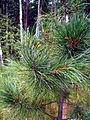Pinus sibirica Balzoj.jpg