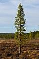 Pinus sylvestris, Luulamminsuo, Urho Kekkonen National Park, Lapland, Finland, 2017-06-09 202408.jpg