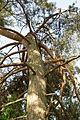 Pinus sylvestris (cultivated), Minsk 02.jpg