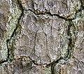 Pinus taeda CG NBG - for CROP LR.jpg
