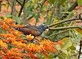 Pionus chalcopterus (Cotorra maicera) - Flickr - Alejandro Bayer (8).jpg