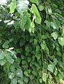 Pippal bush.jpg
