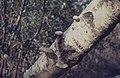 Piptoporus betulina, birch, used as razor strop and tinder, Creigiau, 1963 (30720284270).jpg
