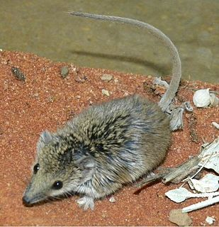 Narrow-nosed planigale Species of marsupial
