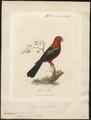 Platycercus cyanopygius - 1789 - Print - Iconographia Zoologica - Special Collections University of Amsterdam - UBA01 IZ18500015.tif