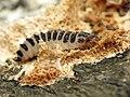 Pleasing Fungus Beetle Larva (29032518352).jpg