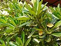 Plumeria obtusa (3438755954).jpg