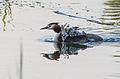 Podiceps cristatus - Haubentaucher - Great Crested Grebe - Familiy7.jpg