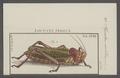 Poecilocera - Print - Iconographia Zoologica - Special Collections University of Amsterdam - UBAINV0274 066 02 0053.tif