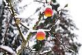 Poertschach letzte Aepfel am Baum 30112013 955.jpg