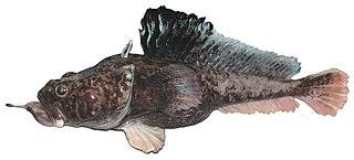 <i>Pogonophryne</i> genus of fishes