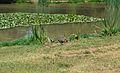 Polla d'aigua al parc de la Rambleta, València.JPG