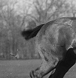 Docking (animal) - Docked and banged tail on a polo pony, photographed between 1910 and 1915