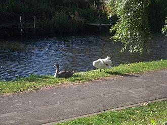 Polwarth, Edinburgh - Swans on the Union Canal at Polwarth