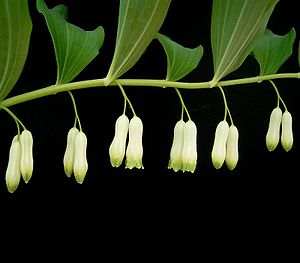 Το είδος Polygonatum multiflorum