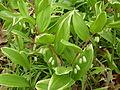 Polygonatum odoratum var. thunbergii 'Variegatum'.jpg