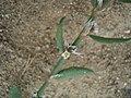 Polygonum oxyspermum subsp. raii inflorescence (12).jpg