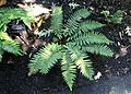 Polystichum polyblepharum - VanDusen Botanical Garden - Vancouver, BC - DSC06787.jpg