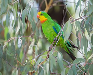 Superb parrot - Adult male in Canberra, Australia