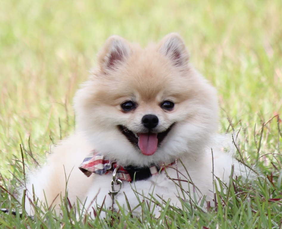 File:Pomeranian-tb.png - Wikimedia Commons Pomeranian Wiki