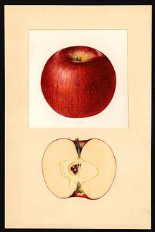 Pomological Watercolor POM00002262.jpg