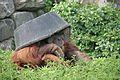 Pongo abelii at the Philadelphia Zoo 009.jpg