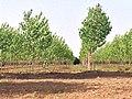 Poplar Plantation - panoramio (1).jpg