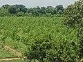 Poplar plantation - panoramio (2).jpg