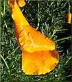 Poppies, ESRI 3-24-13c (8594861633).jpg