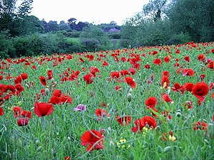 Poppies. Poppies amongst the oil seed rape in ...