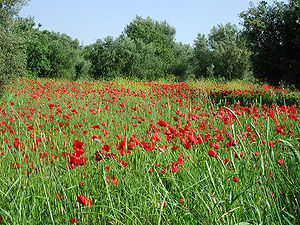 Poppy field at Kefalonia island, Greece