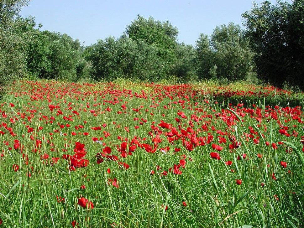 Poppy field at Kefalonia island, Greece