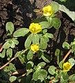 Portulaca oleracea-flowers.jpg
