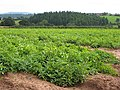 Potato field west of Hoarwithy - geograph.org.uk - 958775.jpg