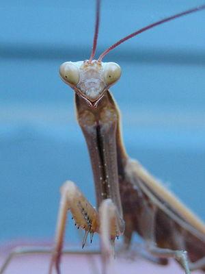 extreme close up of a Praying Mantis