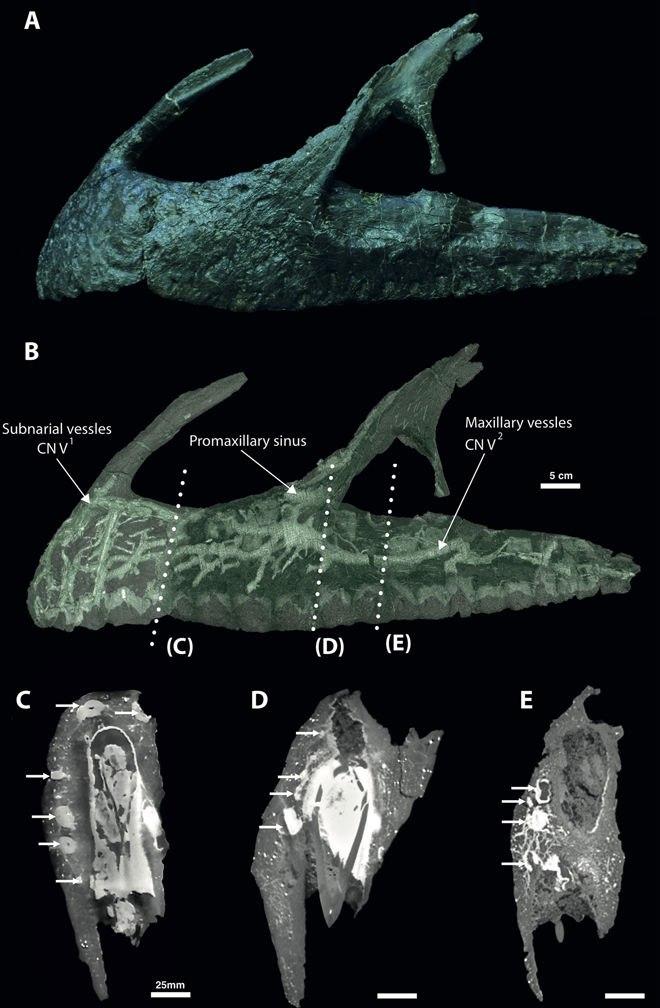 Premaxilla and maxilla of Neovenator