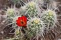 Prickly Pear Cactus.jpg